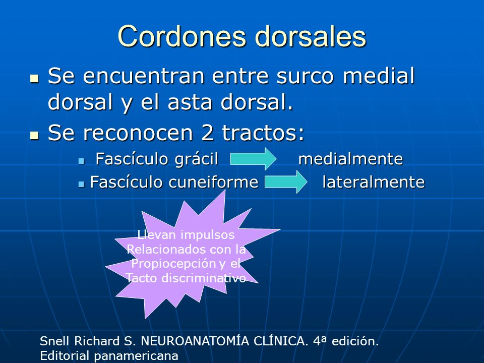 Cordones dorsales Se encuentran entre surco medial dorsal y el asta dorsal. Se encuentran entre surco medial dorsal y el asta dorsal. Se reconocen 2 t