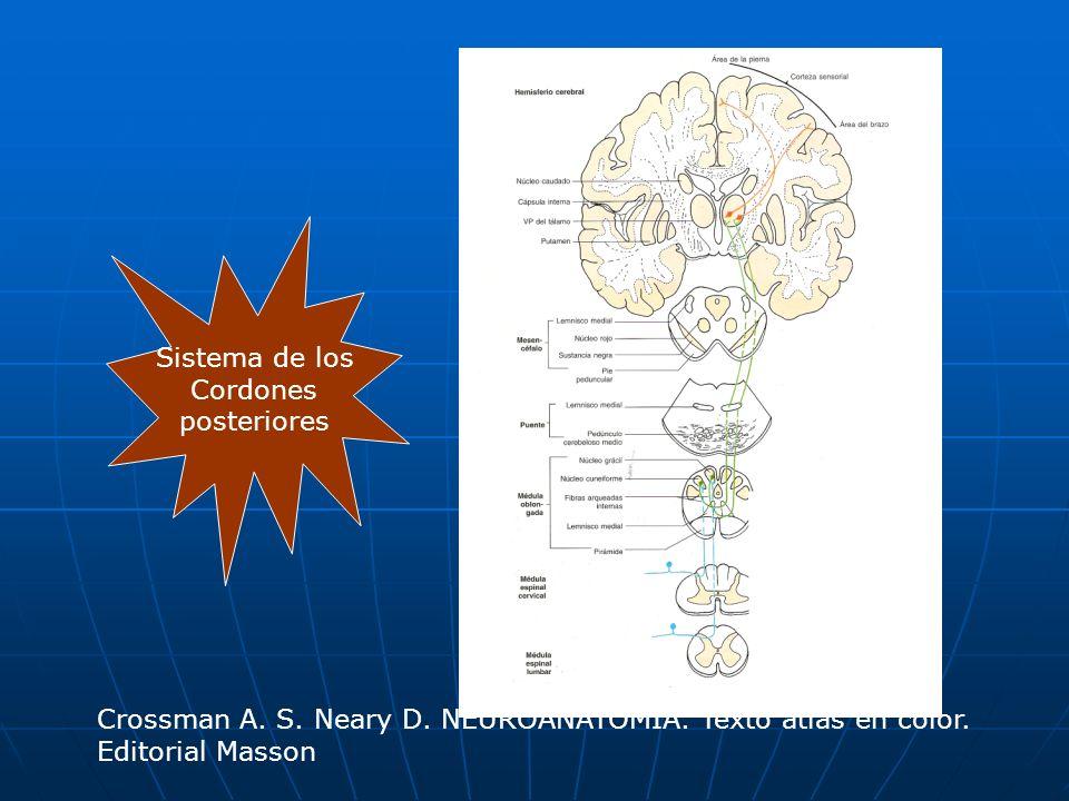 Espinocerebeloso dorsal Paleocerebelo Paleocerebelo llega a llega a Cuerpo restiforme Cuerpo restiforme pasa por pasa por Fascículo espinocerebeloso dorsal Fascículo espinocerebeloso dorsal forma el forma el Núcleo de Clarke (C8-L2) Núcleo de Clarke (C8-L2) pasa por pasa por Ganglio dorsal Ganglio dorsal penetra por fibras 1a penetra por fibras 1a Receptor (huso muscular) Receptor (huso muscular) No se decusa Transporta info.