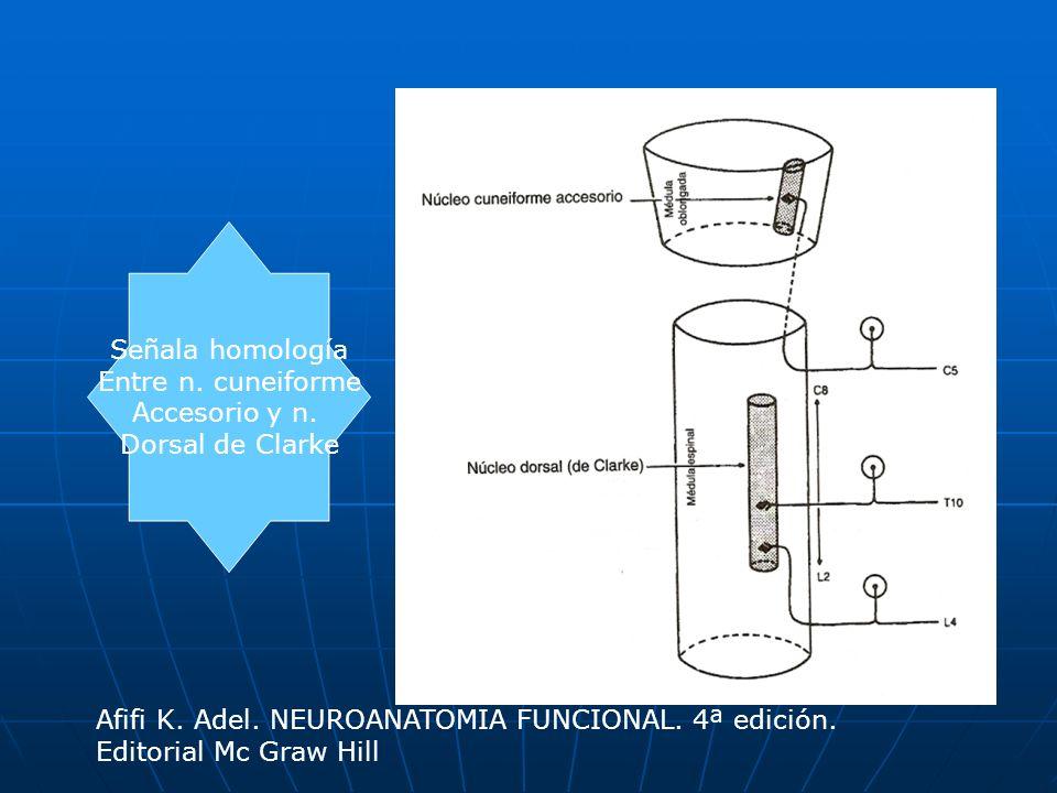 Se observan Los 2 fascículos espinocerebelosos Afifi K.