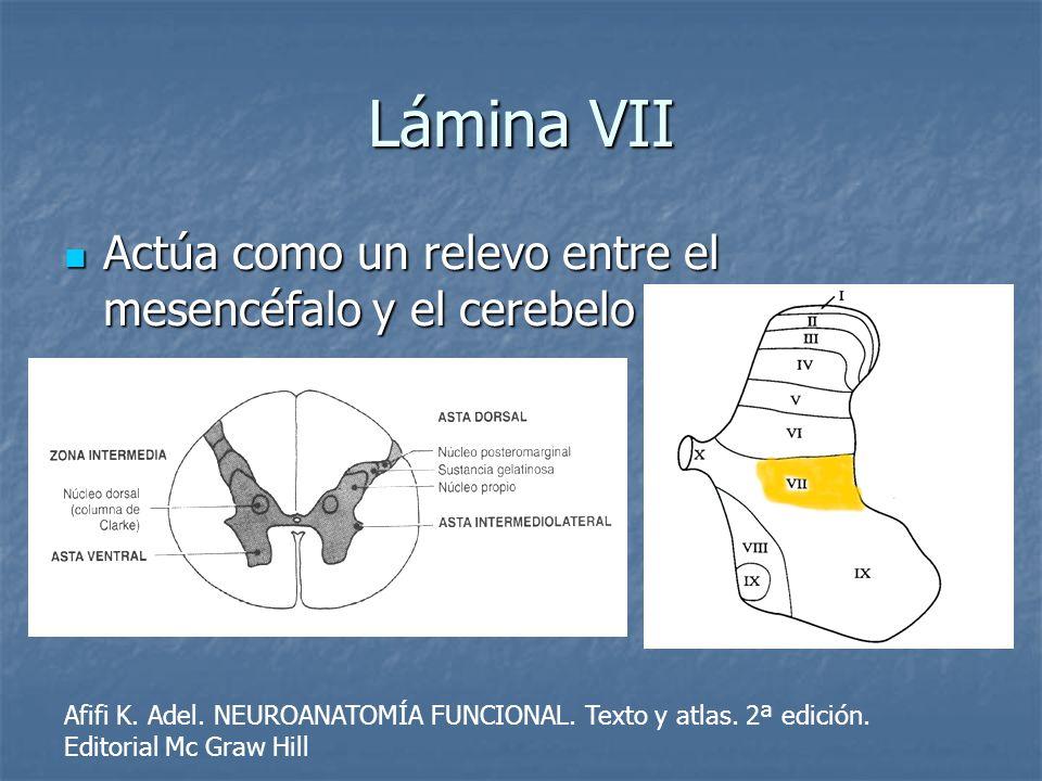 Lámina VII Actúa como un relevo entre el mesencéfalo y el cerebelo Actúa como un relevo entre el mesencéfalo y el cerebelo Afifi K. Adel. NEUROANATOMÍ