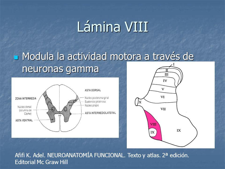 Lámina VIII Modula la actividad motora a través de neuronas gamma Modula la actividad motora a través de neuronas gamma Afifi K. Adel. NEUROANATOMÍA F