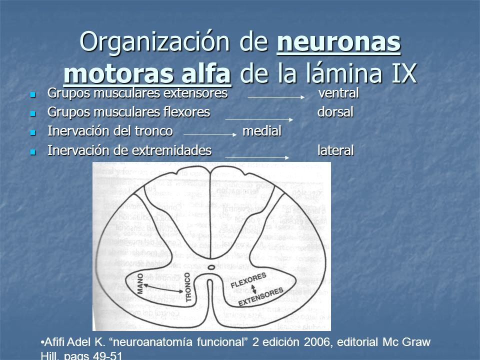 Organización de neuronas motoras alfa de la lámina IX Grupos musculares extensores ventral Grupos musculares extensores ventral Grupos musculares flex