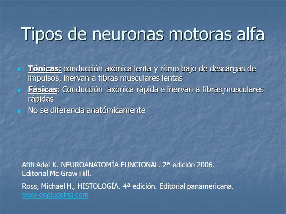 Tipos de neuronas motoras alfa Tónicas: conducción axónica lenta y ritmo bajo de descargas de impulsos, inervan a fibras musculares lentas Tónicas: co