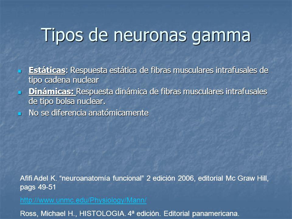 Tipos de neuronas gamma Estáticas: Respuesta estática de fibras musculares intrafusales de tipo cadena nuclear Estáticas: Respuesta estática de fibras