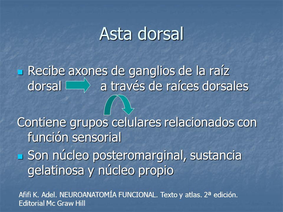 Asta dorsal Recibe axones de ganglios de la raíz dorsal a través de raíces dorsales Recibe axones de ganglios de la raíz dorsal a través de raíces dor