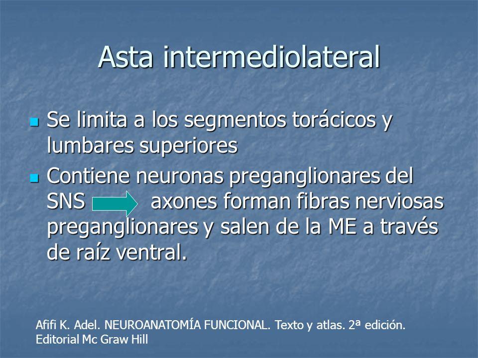 Asta intermediolateral Se limita a los segmentos torácicos y lumbares superiores Se limita a los segmentos torácicos y lumbares superiores Contiene ne