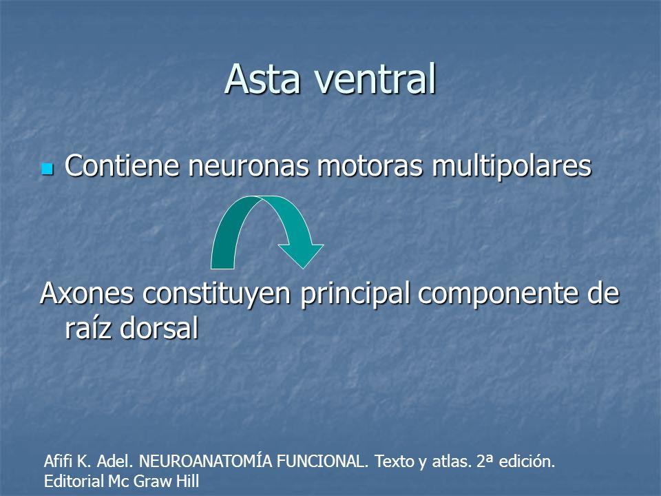 Asta ventral Contiene neuronas motoras multipolares Contiene neuronas motoras multipolares Axones constituyen principal componente de raíz dorsal Afif