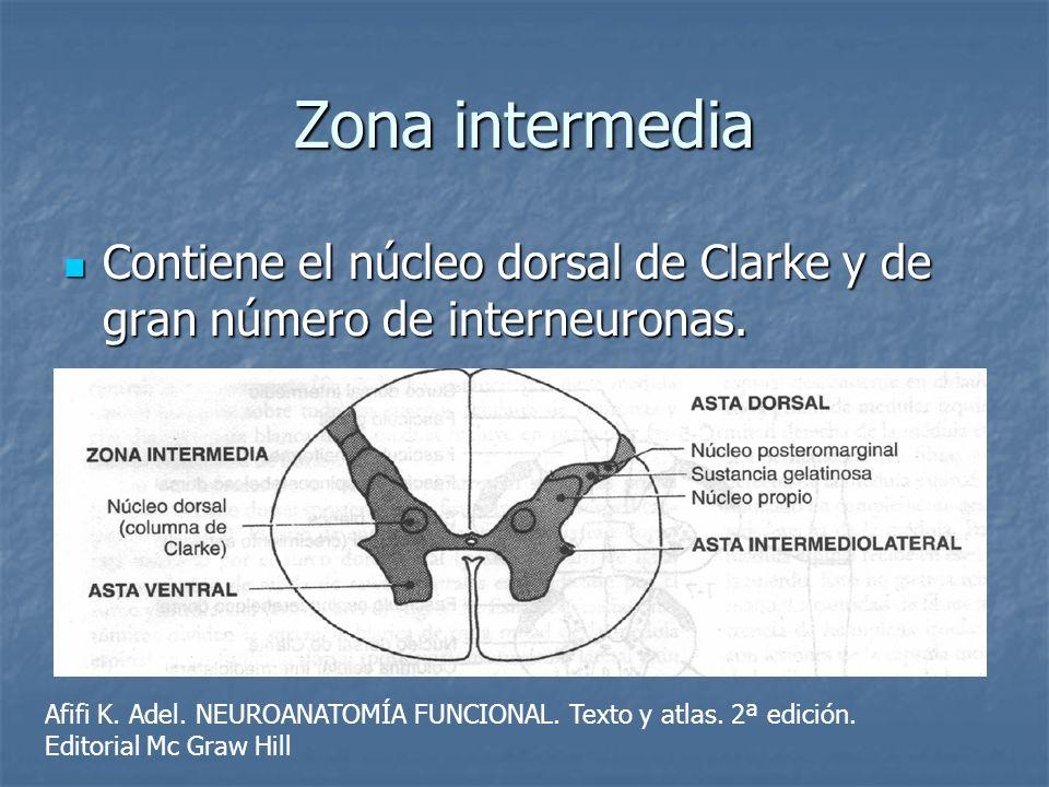 Zona intermedia Contiene el núcleo dorsal de Clarke y de gran número de interneuronas. Contiene el núcleo dorsal de Clarke y de gran número de interne