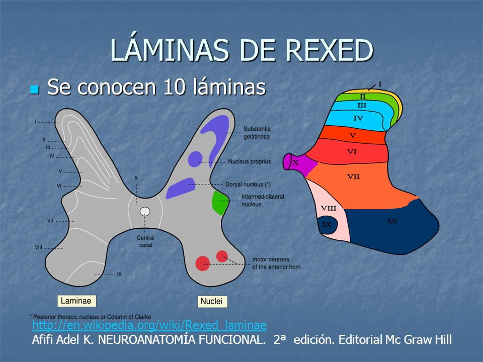 LÁMINAS DE REXED Se conocen 10 láminas Se conocen 10 láminas http://en.wikipedia.org/wiki/Rexed_laminae Afifi Adel K. NEUROANATOMÍA FUNCIONAL. 2ª edic