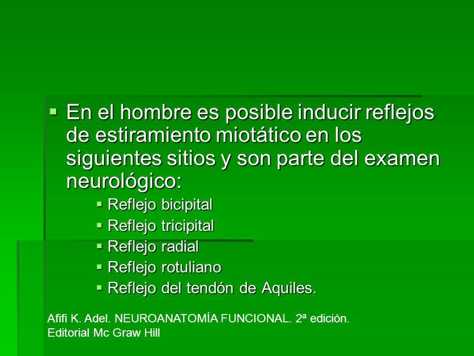En el hombre es posible inducir reflejos de estiramiento miotático en los siguientes sitios y son parte del examen neurológico: En el hombre es posibl