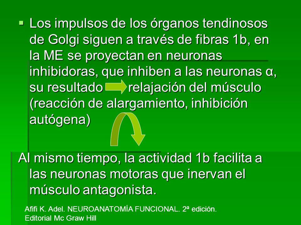 Los impulsos de los órganos tendinosos de Golgi siguen a través de fibras 1b, en la ME se proyectan en neuronas inhibidoras, que inhiben a las neurona