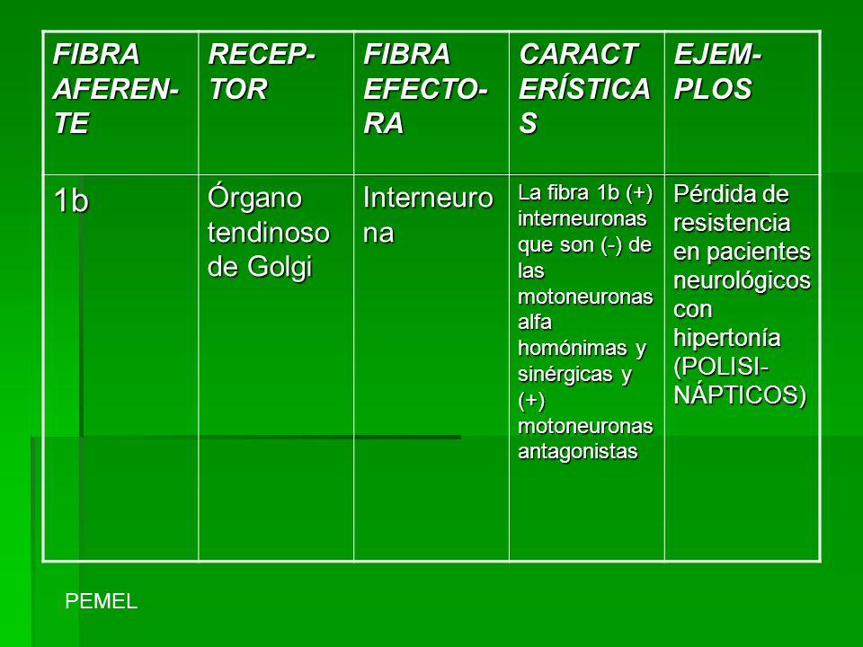 FIBRA AFEREN- TE RECEP- TOR FIBRA EFECTO- RA CARACT ERÍSTICA S EJEM- PLOS 1b Órgano tendinoso de Golgi Interneuro na La fibra 1b (+) interneuronas que