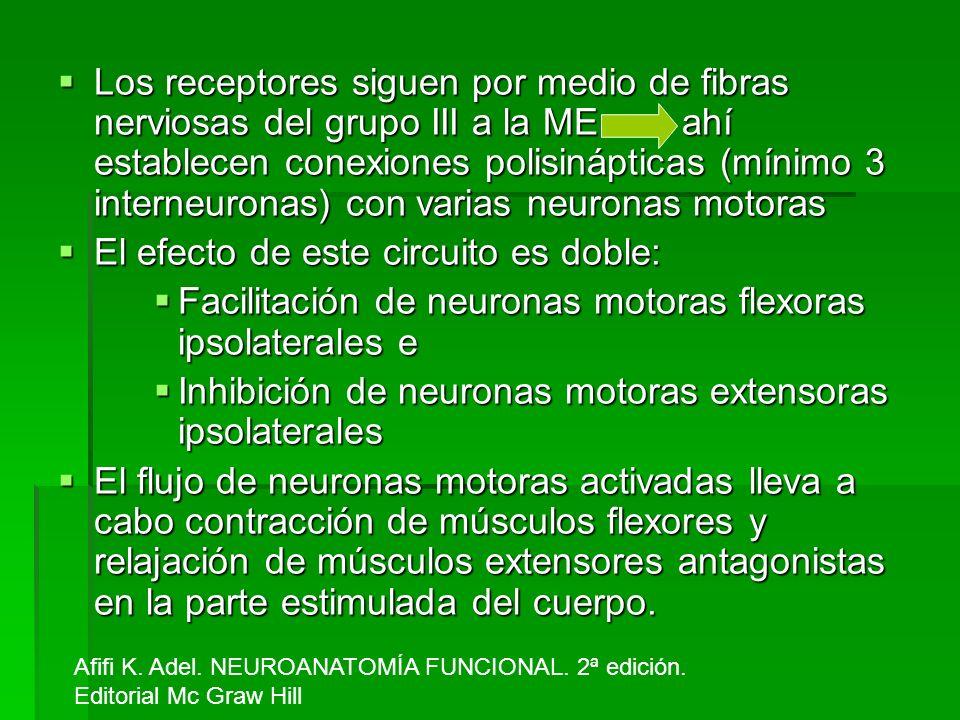 Los receptores siguen por medio de fibras nerviosas del grupo III a la ME ahí establecen conexiones polisinápticas (mínimo 3 interneuronas) con varias