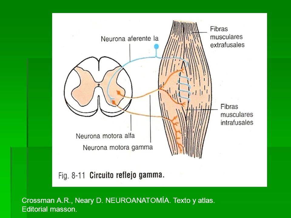 Crossman A.R., Neary D. NEUROANATOMÍA. Texto y atlas. Editorial masson.