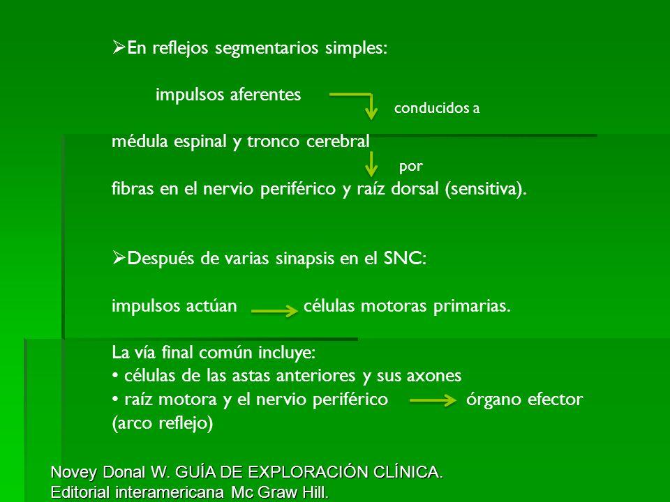 En reflejos segmentarios simples: impulsos aferentes médula espinal y tronco cerebral fibras en el nervio periférico y raíz dorsal (sensitiva). Despué