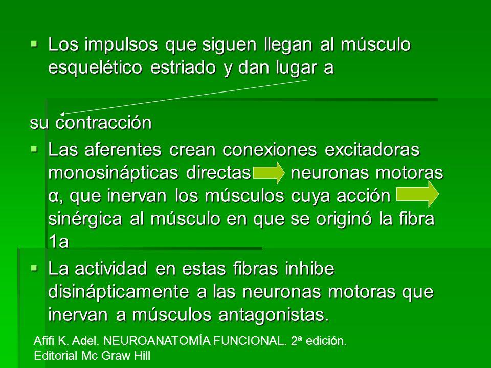 Los impulsos que siguen llegan al músculo esquelético estriado y dan lugar a Los impulsos que siguen llegan al músculo esquelético estriado y dan luga