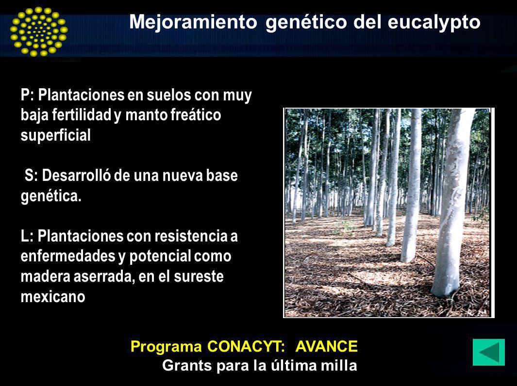 Mejoramiento genético del eucalypto P: Plantaciones en suelos con muy baja fertilidad y manto freático superficial S: Desarrolló de una nueva base gen