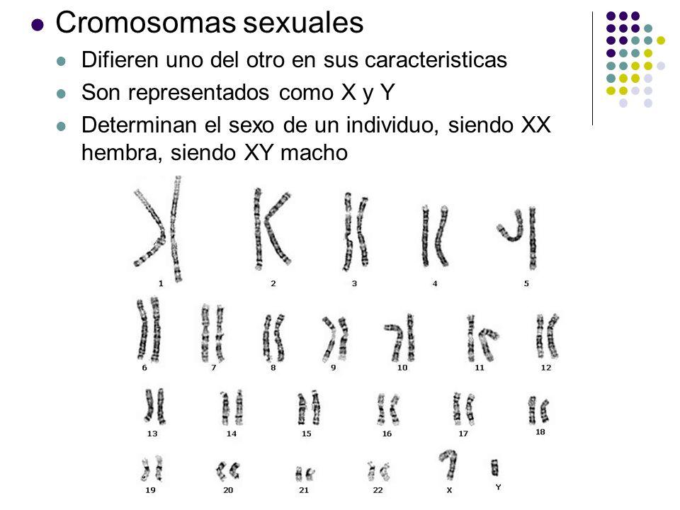 Un célula diploide Tienen dos conjuntos de sus cromosomas Un humano tiene 46 cromosomas (2n = 46)