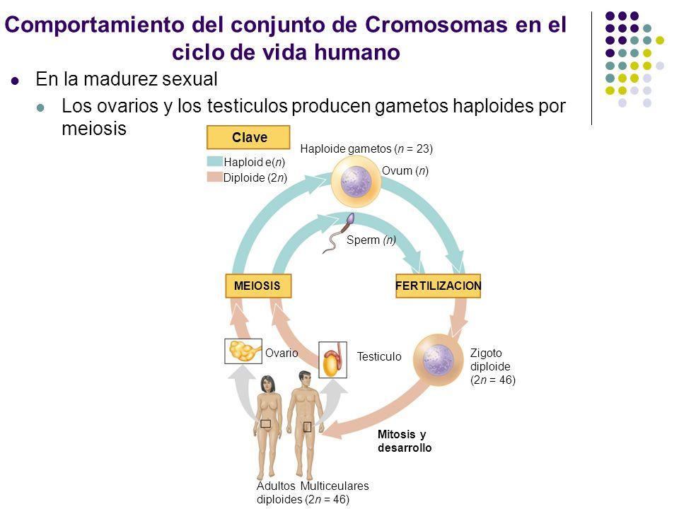 Durante la fertilización Los gametos, espermatozoide y ovulo, se fusionan, formando un zigoto diploide El zigoto se desarrolla en un organismo adulto Clave Haploid e(n) Diploide (2n) Haploide gametos (n = 23) Ovum (n) Sperm (n) MEIOSIS FERTILIZACION Ovario Testiculo Zigoto diploide (2n = 46) Mitosis y desarrollo Adultos Multiceulares diploides (2n = 46)