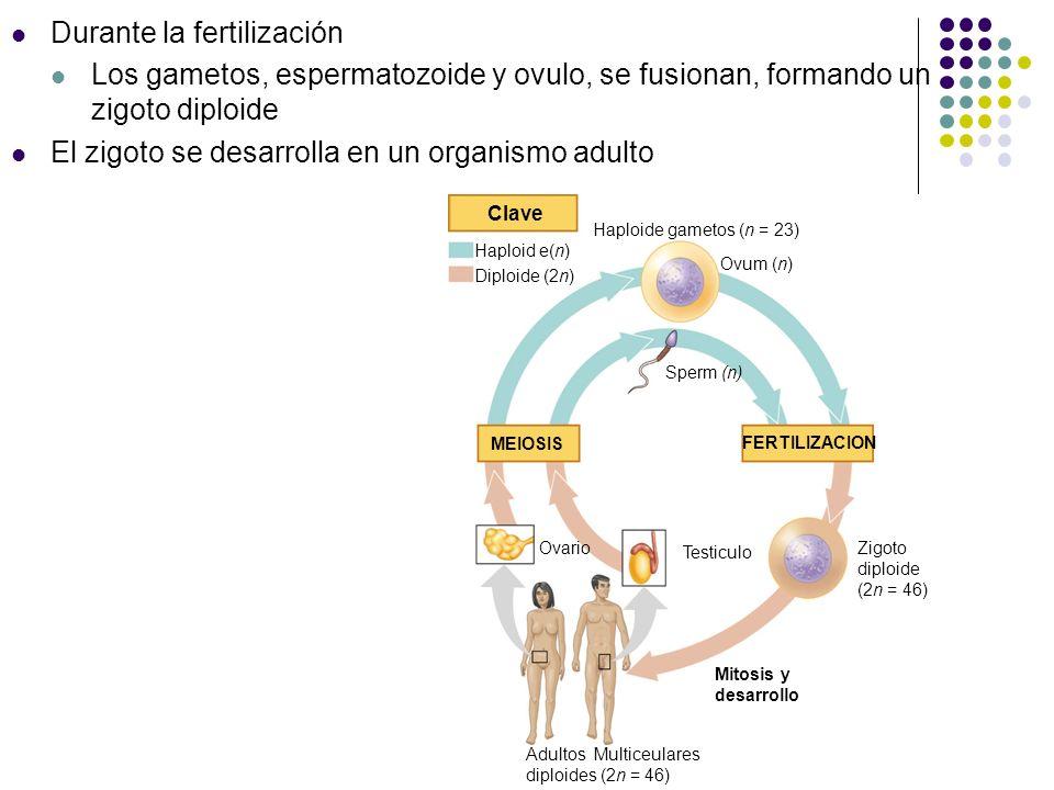 La diversidad de los ciclos de vida sexuales En animales La meiosis ocurre durante la formación de los gametos Los Gametos son las únicas células haploides Gametos Organismo multicelular diploide Key MEIOSIS FERTILIZACION n n n 2n Zigoto Haploide Diploide Mitosis (a) Animales