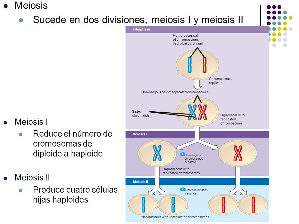Interphase Homologous pair of chromosomes in diploid parent cell Chromosomes replicate Homologous pair of replicated chromosomes Sister chromatids Dip