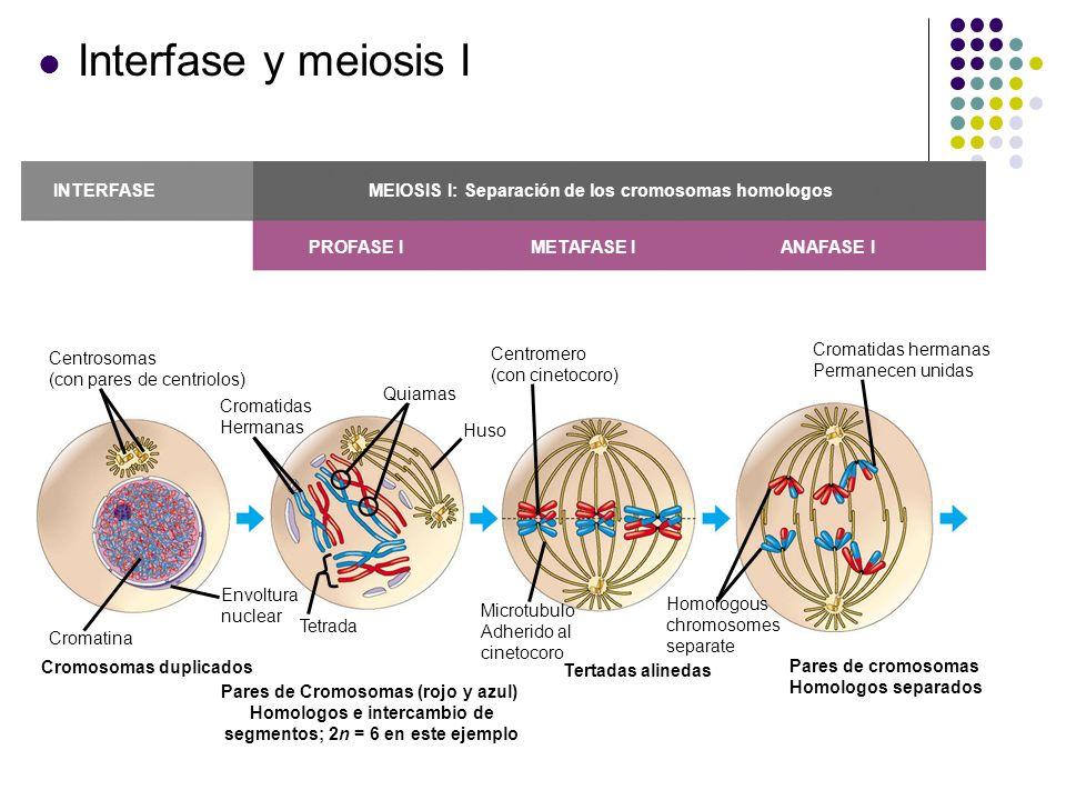 TELOfASE I Y CITOCINESIS PROFASE II METAFASE II ANAFASE II TELOFASE II Y CITOCINESIS MEIOSIS II: Separates sister chromatids Hendidura de segmentación Cromatidas hermanas separadas Células hijas Haploides formadas Durante otra división celular, las cromatidas hermanas finalmente se separan; resultan cuatro células hijas haploides, conteniendo cromosomas individuales Se forman dos células haploides; los cromosomas aún permanecen dobles Telofase I, citocinesis, y meiosis II