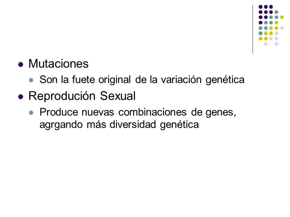 Mutaciones Son la fuete original de la variación genética Reprodución Sexual Produce nuevas combinaciones de genes, agrgando más diversidad genética