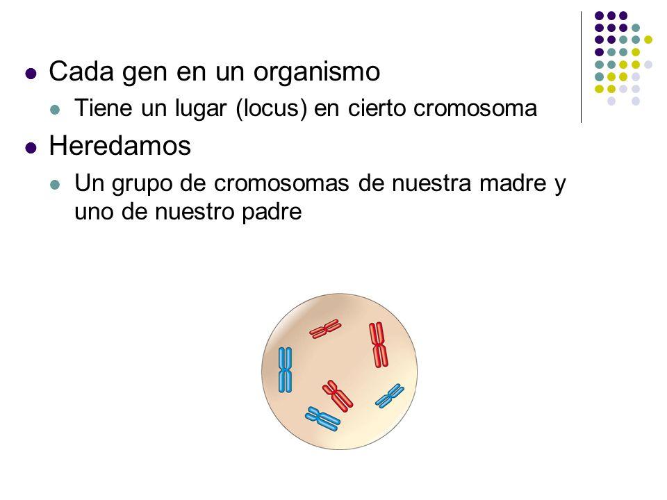 Comparción de la Reprodución Asexual y Sexual En la reprodución asexual Un padre produce descendencia geneticamente identica por mitosis Padre Llema 0.5 mm