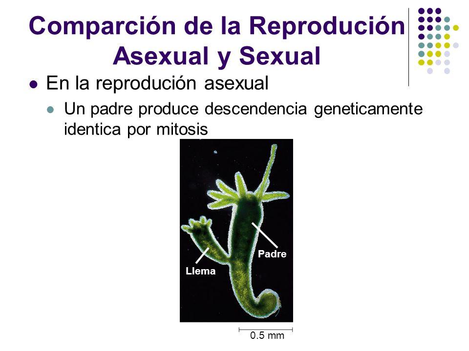 En la reprodución sexual Los padres dan lugar a descendencia que tiene combinaciones unicas de genes heredados de los dos padres Image source http://www.estrellamountain.edu/faculty/farabee/biobk/BioBookmeiosis.html