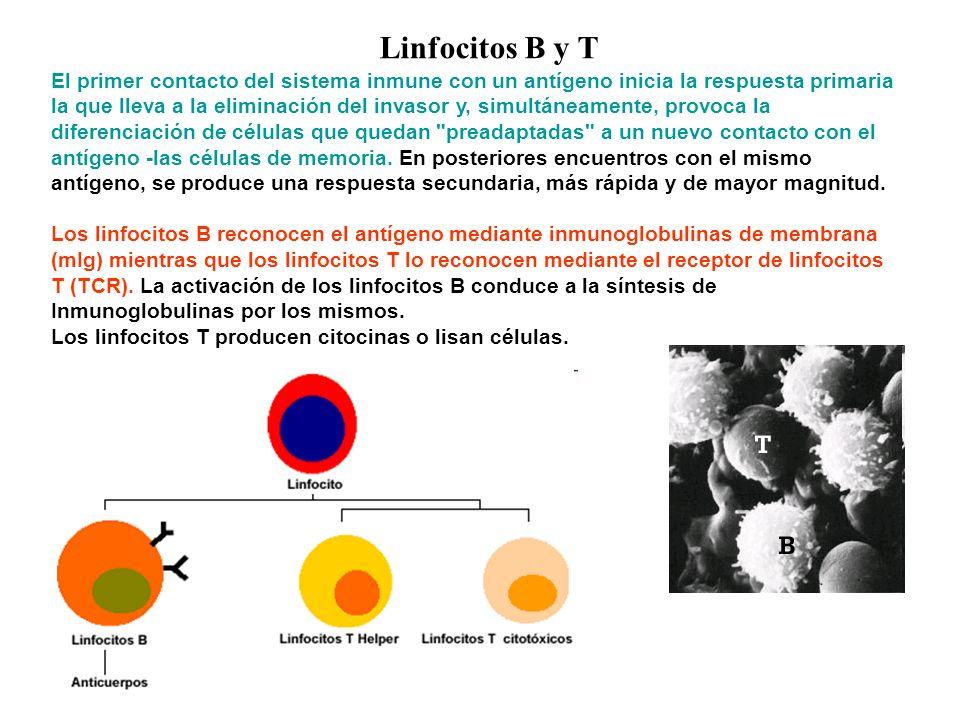Linfocitos B y T El primer contacto del sistema inmune con un antígeno inicia la respuesta primaria la que lleva a la eliminación del invasor y, simul
