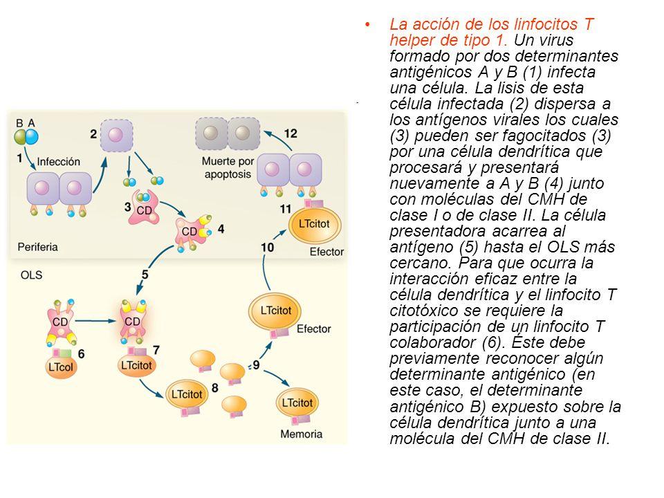 La acción de los linfocitos T helper de tipo 1. Un virus formado por dos determinantes antigénicos A y B (1) infecta una célula. La lisis de esta célu