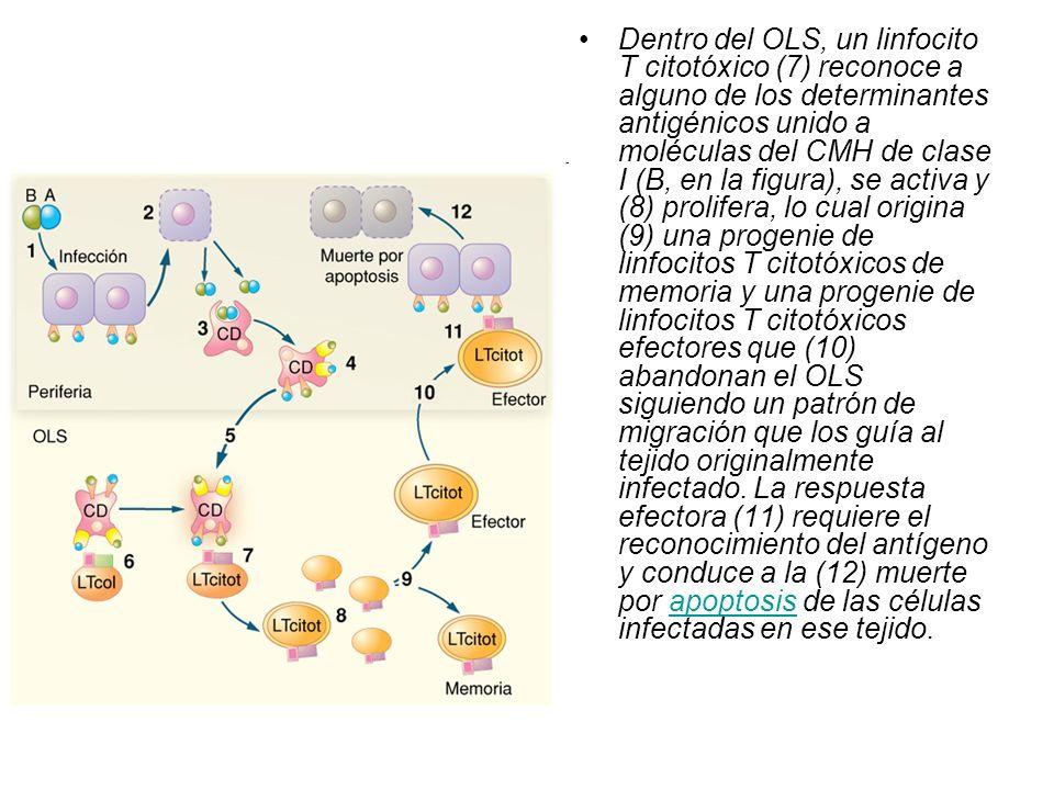 Dentro del OLS, un linfocito T citotóxico (7) reconoce a alguno de los determinantes antigénicos unido a moléculas del CMH de clase I (B, en la figura