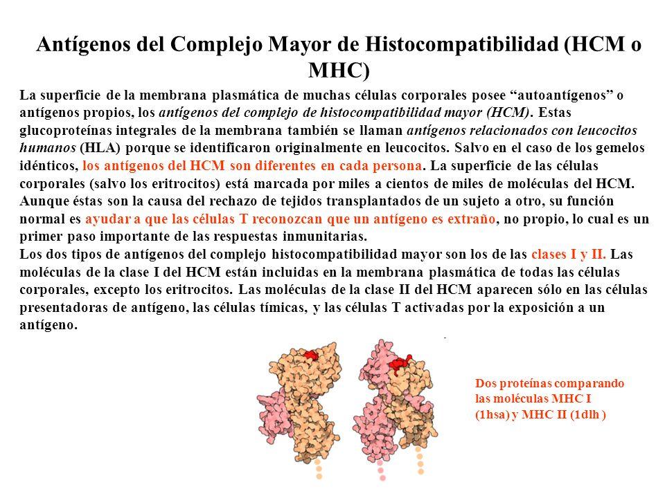 Antígenos del Complejo Mayor de Histocompatibilidad (HCM o MHC) La superficie de la membrana plasmática de muchas células corporales posee autoantígen
