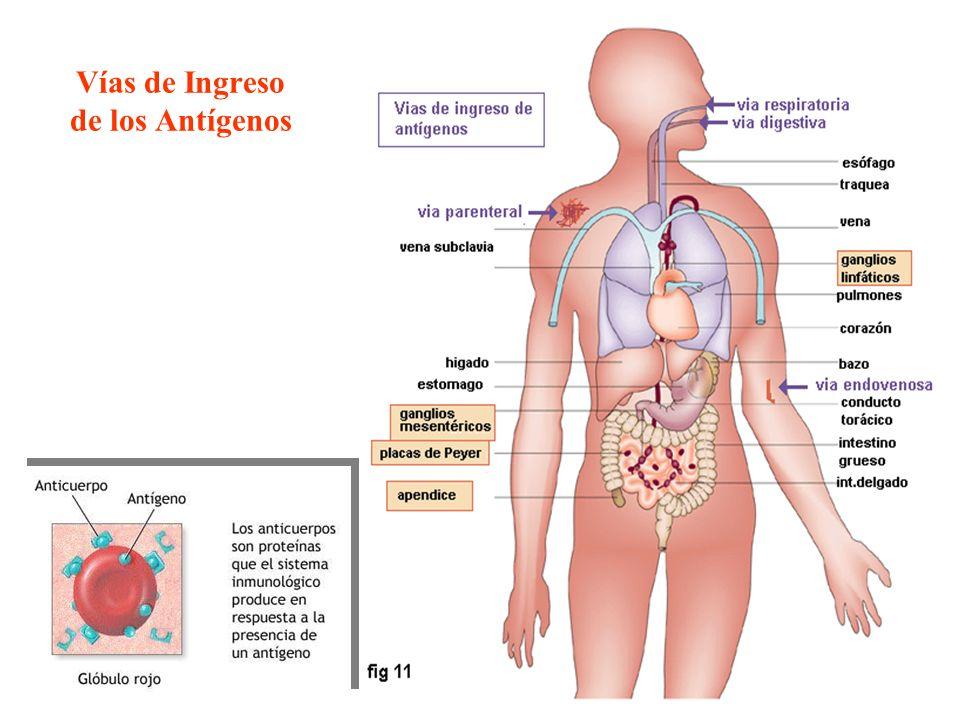 Vías de Ingreso de los Antígenos