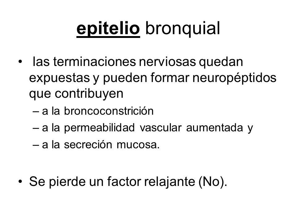 epitelio bronquial las terminaciones nerviosas quedan expuestas y pueden formar neuropéptidos que contribuyen –a la broncoconstrición –a la permeabilidad vascular aumentada y –a la secreción mucosa.