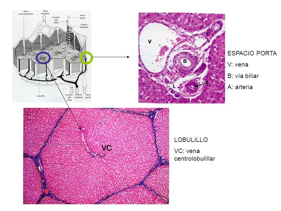 ESPACIO PORTA V: vena B: vía biliar A: arteria LOBULILLO VC: vena centrolobulillar vc