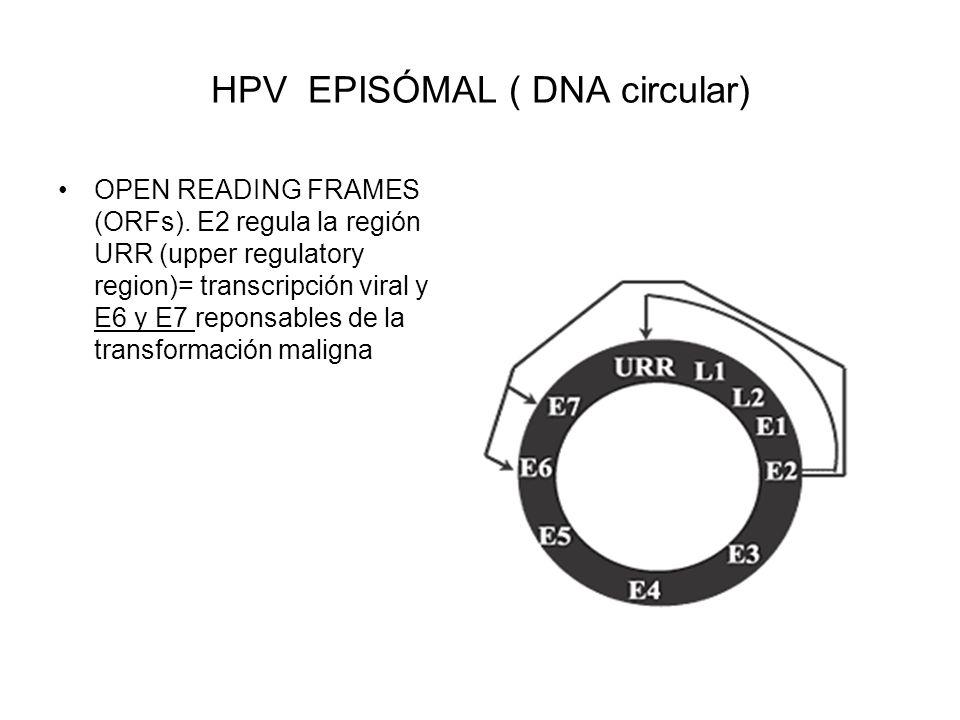 HPV EPISÓMAL ( DNA circular) OPEN READING FRAMES (ORFs). E2 regula la región URR (upper regulatory region)= transcripción viral y E6 y E7 reponsables