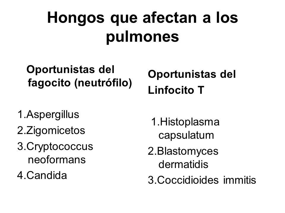 Hongos que afectan a los pulmones Oportunistas del fagocito (neutrófilo) 1.Aspergillus 2.Zigomicetos 3.Cryptococcus neoformans 4.Candida Oportunistas del Linfocito T 1.Histoplasma capsulatum 2.Blastomyces dermatidis 3.Coccidioides immitis