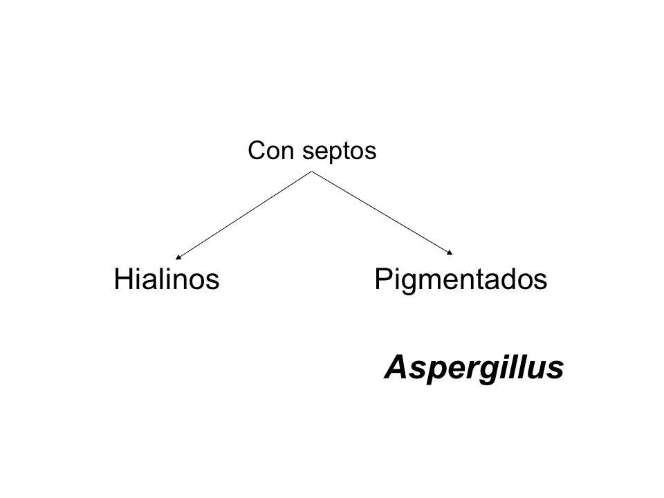 Con septos Hialinos Pigmentados Aspergillus
