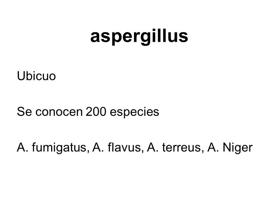 aspergillus Ubicuo Se conocen 200 especies A. fumigatus, A. flavus, A. terreus, A. Niger