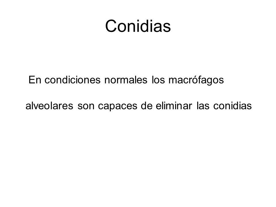 Conidias En condiciones normales los macrófagos alveolares son capaces de eliminar las conidias