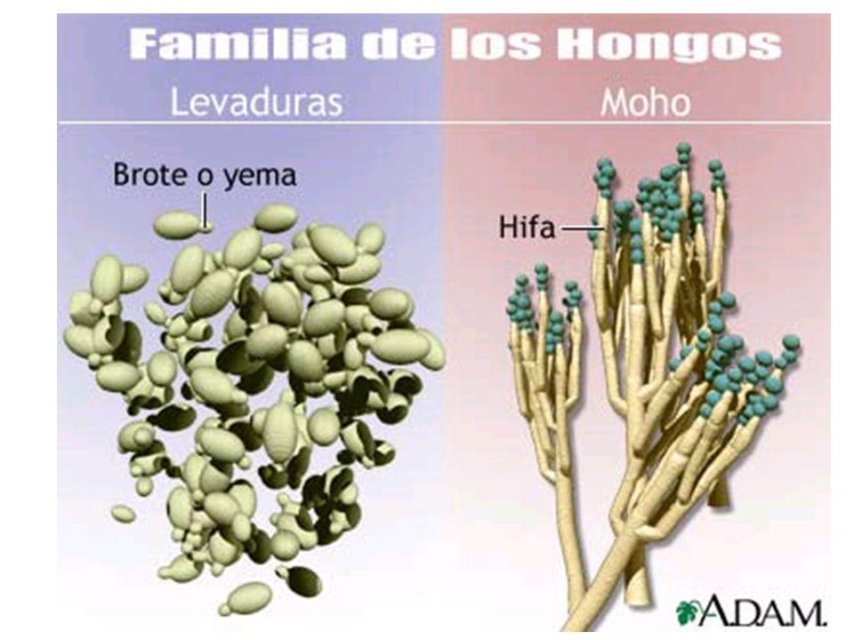 HONGOS FILAMENTOSOS Se desarrollan en el suelo y en vegetales en descomposición Independientes de un huésped animal