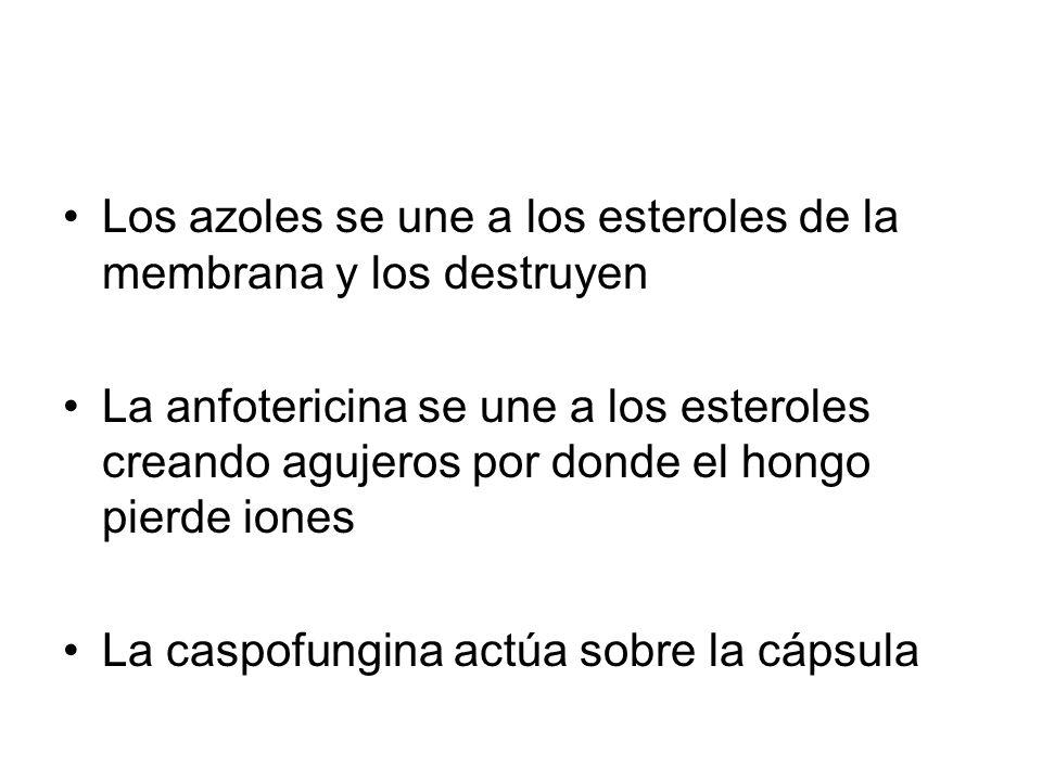 Los azoles se une a los esteroles de la membrana y los destruyen La anfotericina se une a los esteroles creando agujeros por donde el hongo pierde iones La caspofungina actúa sobre la cápsula