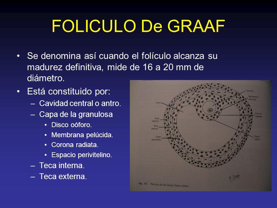 FOLICULO De GRAAF Se denomina así cuando el folículo alcanza su madurez definitiva, mide de 16 a 20 mm de diámetro. Está constituido por: –Cavidad cen