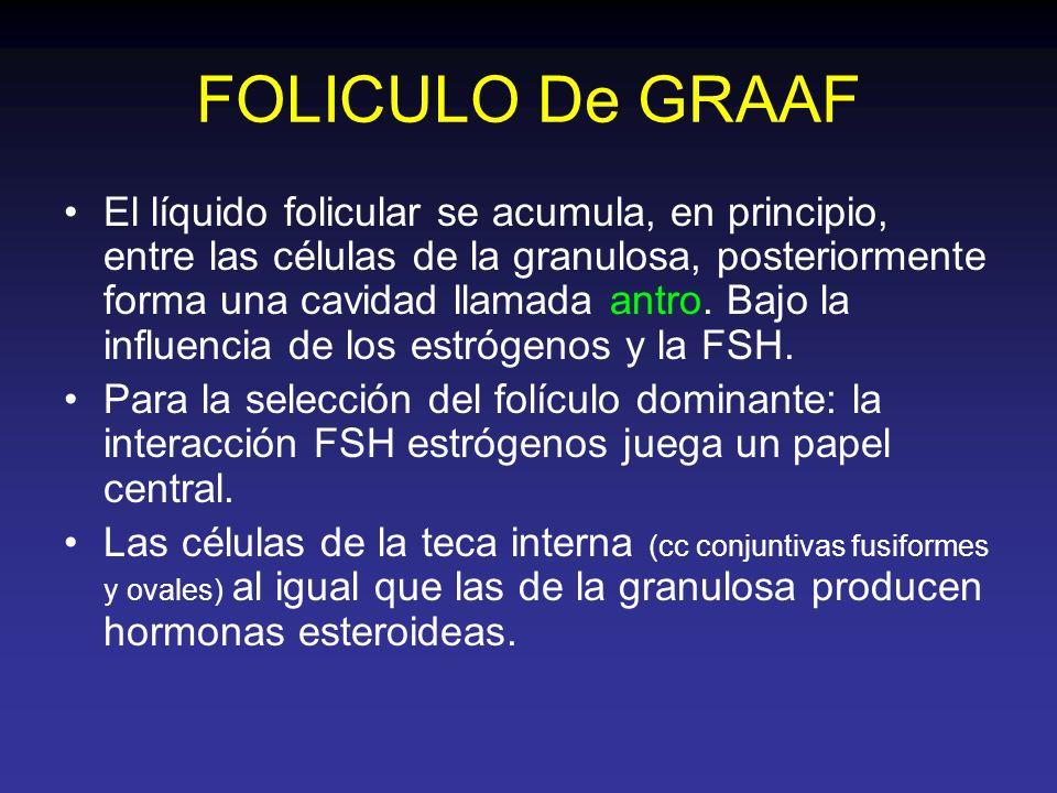 FOLICULO De GRAAF El líquido folicular se acumula, en principio, entre las células de la granulosa, posteriormente forma una cavidad llamada antro. Ba