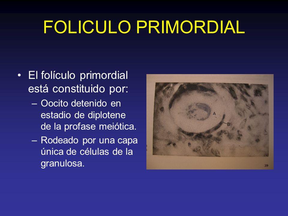 FOLICULO PRIMORDIAL El folículo primordial está constituido por: –Oocito detenido en estadio de diplotene de la profase meiótica. –Rodeado por una cap