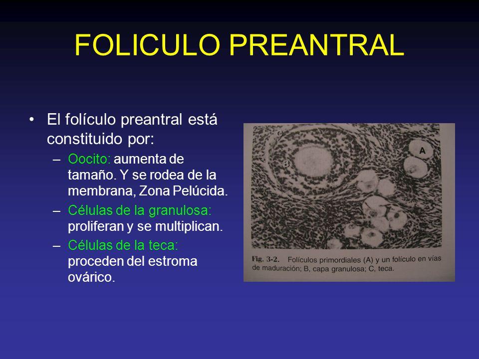 FOLICULO PREANTRAL El folículo preantral está constituido por: –Oocito: aumenta de tamaño. Y se rodea de la membrana, Zona Pelúcida. –Células de la gr