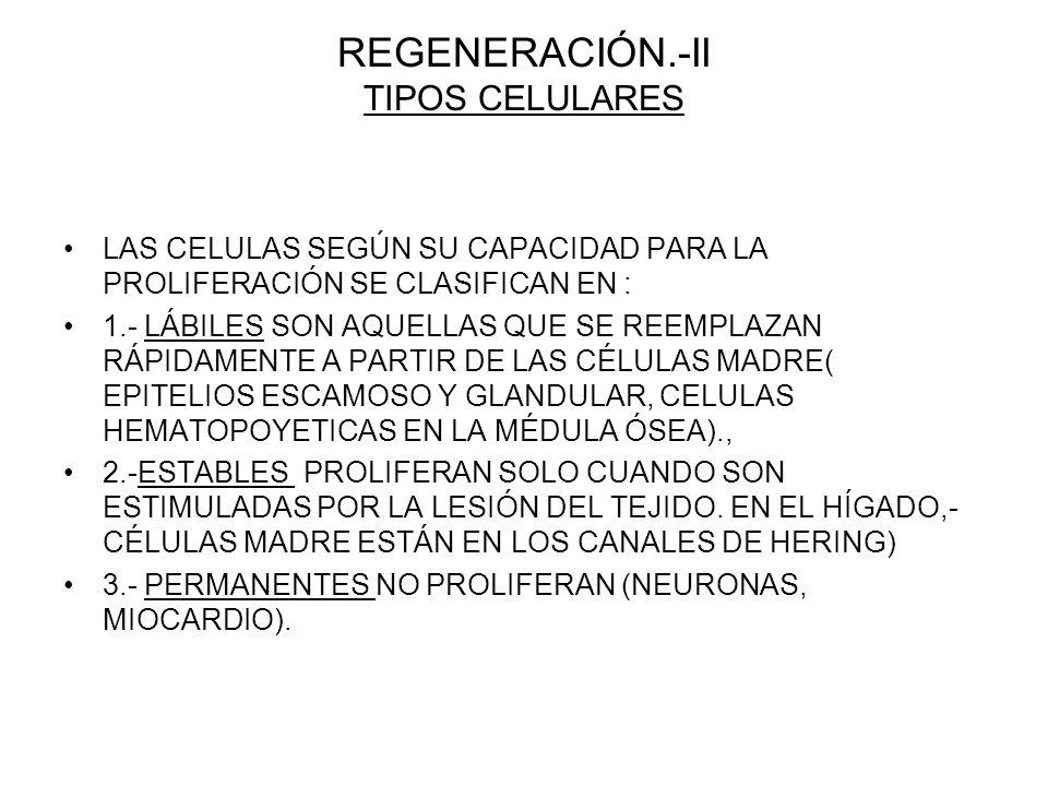 REGENERACIÓN.-II TIPOS CELULARES LAS CELULAS SEGÚN SU CAPACIDAD PARA LA PROLIFERACIÓN SE CLASIFICAN EN : 1.- LÁBILES SON AQUELLAS QUE SE REEMPLAZAN RÁPIDAMENTE A PARTIR DE LAS CÉLULAS MADRE( EPITELIOS ESCAMOSO Y GLANDULAR, CELULAS HEMATOPOYETICAS EN LA MÉDULA ÓSEA)., 2.-ESTABLES PROLIFERAN SOLO CUANDO SON ESTIMULADAS POR LA LESIÓN DEL TEJIDO.