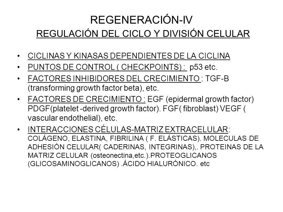 REGENERACIÓN-IV REGULACIÓN DEL CICLO Y DIVISIÓN CELULAR CICLINAS Y KINASAS DEPENDIENTES DE LA CICLINA PUNTOS DE CONTROL ( CHECKPOINTS) : p53 etc. FACT