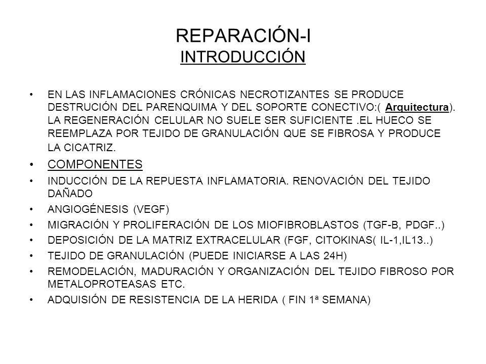 REPARACIÓN-I INTRODUCCIÓN EN LAS INFLAMACIONES CRÓNICAS NECROTIZANTES SE PRODUCE DESTRUCIÓN DEL PARENQUIMA Y DEL SOPORTE CONECTIVO:( Arquitectura).